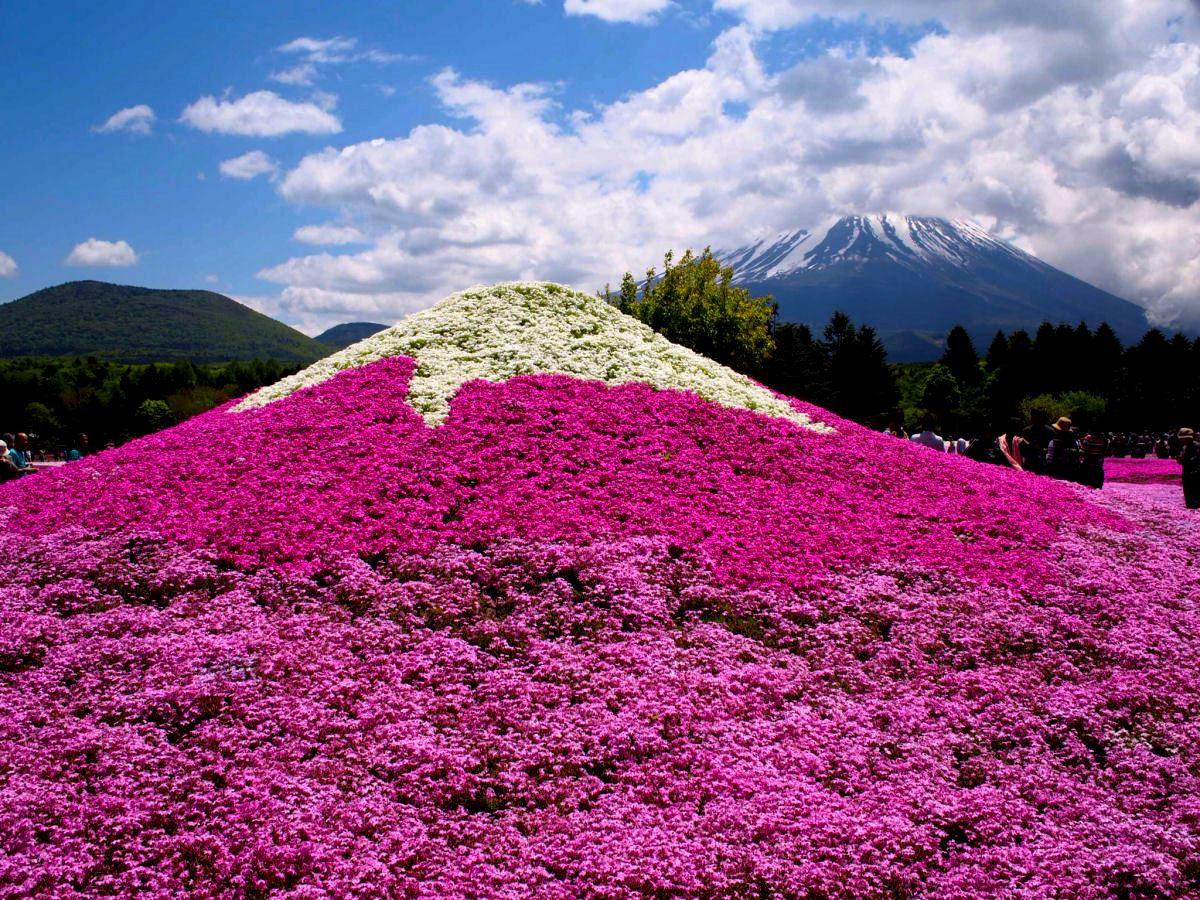 O espetáculo das flores de musgo no Japão